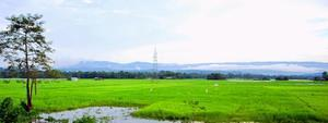 Lush Fields of Assam